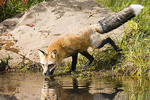 "Red Fox  Vulpes fulva    Adult ""cross fox""         Canidae"
