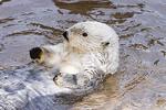 Older adult Sea Otter  Enhydra lutris    Mustelidae