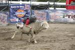 Kid riding sheep at Oioi Sate Fair