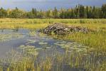 Beaver Pond in small bay off Brule Narrows, Rainy lake, Voyageurs National Park, Minnesota,
