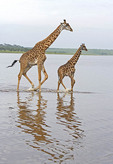 Giraffes Massai giraffe, Giraffe, Lake Ndutu, Serengeti, Tanzania, Africa.