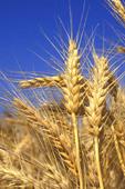 Mature wheat  growing inCalifornia