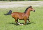 Arabian Horse Equus ferus caballus McNary, Arizona, United States 24 June      Adult      Equidae