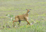 Adult Female Nilgai running in a field