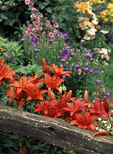 Red day lilies by old fence