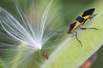 Milkweed Bug with milkweed seed