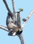 Adult Brown-throated Three-toed Sloth