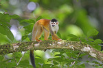Immature Central American Squirrel Monkey
