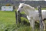 West Virginia, Greenbrier County, Lewisburg, white horse, barn, Allegheny Mountains,