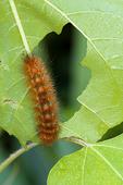 Virginia Tiger Moth Caterpillar feeding on a leaf
