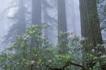 Coast Redwood, Kuestenmammutbaum, Rhododendron, Sequoia sempervirens, K¸sten-Mammutnaum, Redwood National Park, California, USA. Photo: Fritz Poelking, Fritz Pˆlking A nature document.
