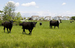 Cows next to a new housing development in Powell, Ohio on Friday May 16, 2008.