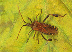 LEAF FOOTED BUG  Leptoglossus occidentalis