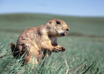 Blacktail Prairie Dog in South Dakota