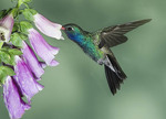 BROAD BILLED HUMMINGBIRD  GETTIN NECTAR