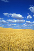 Mature wheat field in  Washington