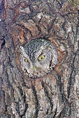 Adult Whiskered Screech-Owl looking from oak tree nest. Otus trichopsis Chiricahua Mountains