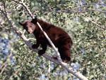 Cinnamon colored Black Bear Cub in a Aspen tree
