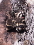Young Raccooons in a tree