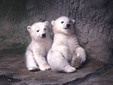 Two baby polar bears at Cincinnati Zoo