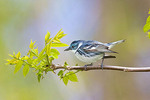 Adult male Cerulean Warbler on a tree branch Dendroica cerulea