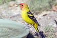 Male  Western Tanager  at a bird bath