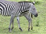 Mother and baby Zebras at Cleveland Zoo