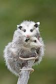 Immature Virginia Opossums