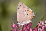 Adult Acadian Hairstreak  butterfly