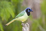 Adult Green Jay in Texas