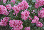 Mountain Laurel in full bloom