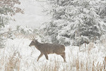 White tailed deer in the winter