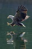 White-tailed Sea Eagle  grabbing fish