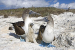 Adults & Immature Blue-footed Booby