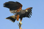 Adult Harris' Hawk