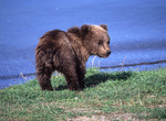 Young Brown Bear near water