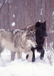 Pair of Eastern Grey Timber Wolves in winter