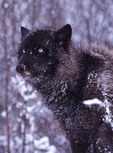 Eastern Gray timber Wolf black phase in winter