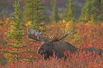 Alaskan Bull Moose moving through autumn colored dwarf birch during its rutting season. Denali National Park, Alaska