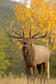 Large Bull Elk bugling in  a meadow in the Fall