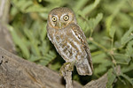Adult Elf Owl