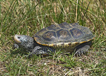 TEXAS DIAMONDBACK TERRAPIN
