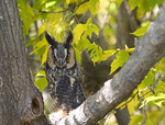 Female long-eared owl perched on a limb, 8-12 yrs old, captive.