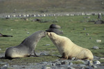 Antarctic fur seal, South Georgia, antarktische Region, South Atlantic.