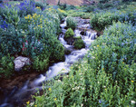 Summer wildflowers line the banks of this feeder stream of Sneffels Creek in Yankee Boy Basin. Uncompahgre National Forest, San Juan Mountains, Colorado.