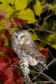Adult Northern Saw-whet Owl