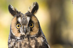 Long-eared Owl    captv.