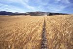 Wheat harvest in Idaho