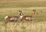 Two Pronghorns running across a field