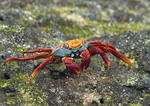 Sally Lightfoot crab on the rocks